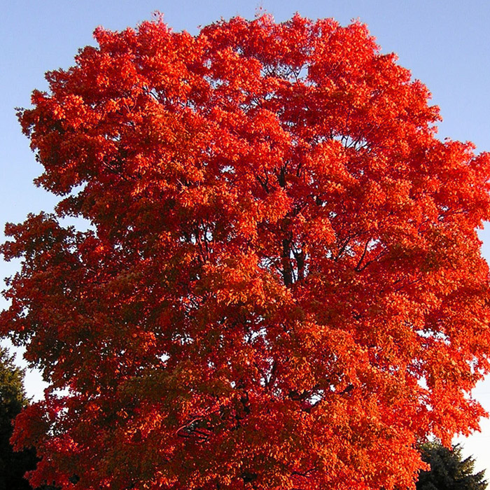 Florida Maple